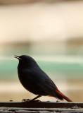 BIRD - REDSTART - PLUMBEOUS WATER REDSTART - MONKEY VALLEY - FUXI VILLAGE NEAR HUANGSHAN CHINA (2).JPG
