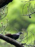 BIRD - THRUSH - BLUE WHISTLING THRUSH - GUNIUJIANG NATURE RESERVE -  ANHUI PROVINCE CHINA (4).JPG