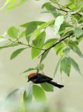 BIRD - TIT - BLACK-THROATED TIT - HONGCUN VILLAGE ANHUI CHINA (10).JPG