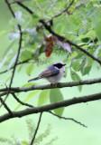 BIRD - TIT - BLACK-THROATED TIT - HONGCUN VILLAGE ANHUI CHINA (12).JPG
