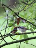 BIRD - TIT - BLACK-THROATED TIT - HONGCUN VILLAGE ANHUI CHINA (18).JPG