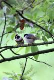 BIRD - TIT - BLACK-THROATED TIT - HONGCUN VILLAGE ANHUI CHINA (20).JPG
