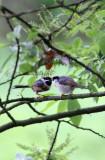 BIRD - TIT - BLACK-THROATED TIT - HONGCUN VILLAGE ANHUI CHINA (21).JPG