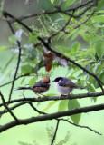BIRD - TIT - BLACK-THROATED TIT - HONGCUN VILLAGE ANHUI CHINA (22).JPG