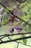 BIRD - TIT - BLACK-THROATED TIT - HONGCUN VILLAGE ANHUI CHINA (28).JPG
