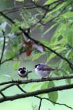 BIRD - TIT - BLACK-THROATED TIT - HONGCUN VILLAGE ANHUI CHINA (29).JPG