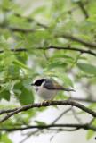 BIRD - TIT - BLACK-THROATED TIT - HONGCUN VILLAGE ANHUI CHINA (3).JPG