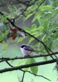BIRD - TIT - BLACK-THROATED TIT - HONGCUN VILLAGE ANHUI CHINA (31).JPG