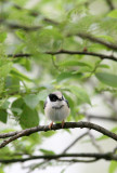 BIRD - TIT - BLACK-THROATED TIT - HONGCUN VILLAGE ANHUI CHINA (7).JPG