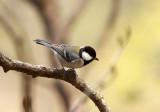 BIRD - TIT - GREAT TIT - HUANGSHAN NATIONAL PARK - ANHUI PROVINCE CHINA (1).JPG