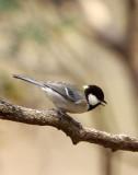 BIRD - TIT - GREAT TIT - HUANGSHAN NATIONAL PARK - ANHUI PROVINCE CHINA (2).JPG