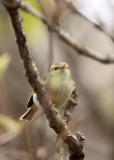 BIRD - WARBLER - TWO-BARRED WARBLER - NEEDS ID - HUANGSHAN NATIONAL PARK - ANHUI PROVINCE CHINA (1).JPG