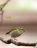 BIRD - WARBLER - TWO-BARRED WARBLER - NEEDS ID - HUANGSHAN NATIONAL PARK - ANHUI PROVINCE CHINA (10).JPG
