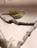 BIRD - WARBLER - TWO-BARRED WARBLER - NEEDS ID - HUANGSHAN NATIONAL PARK - ANHUI PROVINCE CHINA (11).JPG