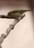 BIRD - WARBLER - TWO-BARRED WARBLER - NEEDS ID - HUANGSHAN NATIONAL PARK - ANHUI PROVINCE CHINA (3).JPG