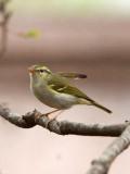BIRD - WARBLER - TWO-BARRED WARBLER - NEEDS ID - HUANGSHAN NATIONAL PARK - ANHUI PROVINCE CHINA (6).JPG