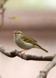 BIRD - WARBLER - TWO-BARRED WARBLER - NEEDS ID - HUANGSHAN NATIONAL PARK - ANHUI PROVINCE CHINA (7).JPG