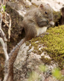 RODENT - SQUIRREL - PERNY'S LONG-NOSED SQUIRREL - HUANGSHAN NATIONAL PARK - ANHUI PROVINCE CHINA (12).JPG