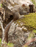 RODENT - SQUIRREL - PERNY'S LONG-NOSED SQUIRREL - HUANGSHAN NATIONAL PARK - ANHUI PROVINCE CHINA (2).JPG