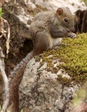 RODENT - SQUIRREL - PERNY'S LONG-NOSED SQUIRREL - HUANGSHAN NATIONAL PARK - ANHUI PROVINCE CHINA (3).JPG