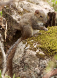 RODENT - SQUIRREL - PERNY'S LONG-NOSED SQUIRREL - HUANGSHAN NATIONAL PARK - ANHUI PROVINCE CHINA (4).JPG