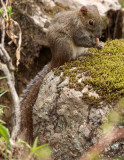 RODENT - SQUIRREL - PERNY'S LONG-NOSED SQUIRREL - HUANGSHAN NATIONAL PARK - ANHUI PROVINCE CHINA (7).JPG