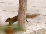 RODENT - SQUIRREL - RED-HIPPED SQUIRREL - HUANGSHAN NATIONAL PARK - ANHUI PROVINCE CHINA (2).JPG