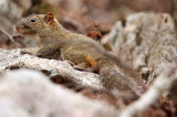 RODENT - SQUIRREL - RED-HIPPED SQUIRREL - HUANGSHAN NATIONAL PARK - ANHUI PROVINCE CHINA (5).JPG