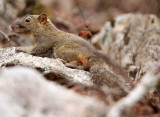 RODENT - SQUIRREL - RED-HIPPED SQUIRREL - HUANGSHAN NATIONAL PARK - ANHUI PROVINCE CHINA (6).JPG