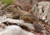 RODENT - SQUIRREL - RED-HIPPED SQUIRREL - HUANGSHAN NATIONAL PARK - ANHUI PROVINCE CHINA (7).JPG