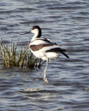 BIRD - AVOCET - PIED AVOCET - CHAKA LAKE QINGHAI CHINA (15).jpg