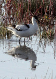 BIRD - AVOCET - PIED AVOCET - CHAKA LAKE QINGHAI CHINA (3).JPG