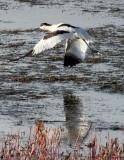 BIRD - AVOCET - PIED AVOCET - CHAKA LAKE QINGHAI CHINA (5).JPG