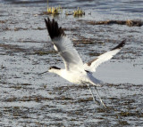 BIRD - AVOCET - PIED AVOCET - CHAKA LAKE QINGHAI CHINA (6).JPG