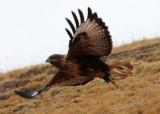 BIRD - BUZZARD - UPLAND BUZZARD -  KEKEXILI NATIONAL RESERVE - QINGHAI PROVINCE - WEST OF QUMALAI (1).JPG