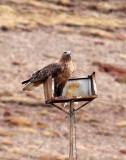 BIRD - BUZZARD - UPLAND BUZZARD -  KEKEXILI NATIONAL RESERVE - QINGHAI PROVINCE - WEST OF QUMALAI (14).JPG