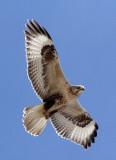 BIRD - BUZZARD - UPLAND BUZZARD - BUTEO HEMILASIUS -  KU HAI LAKE QINGHAI CHINA (5).JPG