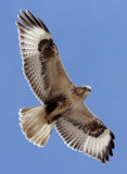 BIRD - BUZZARD - UPLAND BUZZARD - BUTEO HEMILASIUS -  KU HAI LAKE QINGHAI CHINA (6).JPG