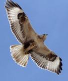 BIRD - BUZZARD - UPLAND BUZZARD - BUTEO HEMILASIUS -  KU HAI LAKE QINGHAI CHINA (7).JPG