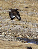 BIRD - BUZZARD - UPLAND BUZZARD - KEKEXILI NATIONAL RESERVE - QINGHAI PROVINCE - EASTERN SECTOR (10).JPG