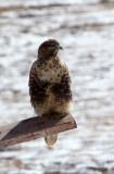 BIRD - BUZZARD - UPLAND BUZZARD - NEAR BAYANKALA PASS QINGHAI CHINA (15).JPG