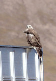 BIRD - BUZZARD - UPLAND BUZZARD POSSIBLE - KEKEXILI NATIONAL RESERVE - QINGHAI PROVINCE - EASTERN SECTOR (1).JPG