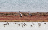 BIRD - CRANE - BLACK-NECKED CRANE - DONG GEI CUO NA LAKE QINGHAI CHINA (13).JPG