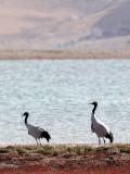 BIRD - CRANE - BLACK-NECKED CRANE - DONG GEI CUO NA LAKE QINGHAI CHINA (30).JPG