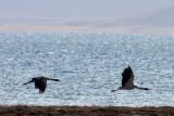 BIRD - CRANE - BLACK-NECKED CRANE - DONG GEI CUO NA LAKE QINGHAI CHINA (32).JPG