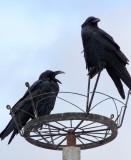 BIRD - CROW - LARGE-BILLED CROW - NEAR BAYANKALA PASS QINGHAI CHINA (8).JPG