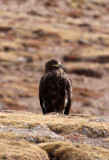 BIRD - EAGLE - GOLDEN EAGLE -  KEKEXILI NATIONAL RESERVE - QINGHAI PROVINCE - WEST OF QUMALAI (7).JPG