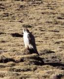 BIRD - FALCON - SAKER FALCON - KEKEXILI NATIONAL RESERVE - QINGHAI PROVINCE - EASTERN SECTOR (26).JPG