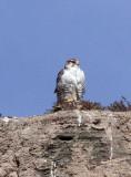 BIRD - FALCON - SAKER FALCON - YENIUGOU WILD YAK VALLEY - QINGHAI CHINA (2).JPG