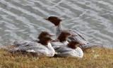 BIRD - GOOSANDER -  KEKEXILI NATIONAL RESERVE - QINGHAI PROVINCE - WEST OF QUMALAI (1).JPG